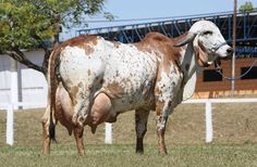 Rural Pecuária  Resultado do Concurso Leiteiro - ExpoZebu 2012