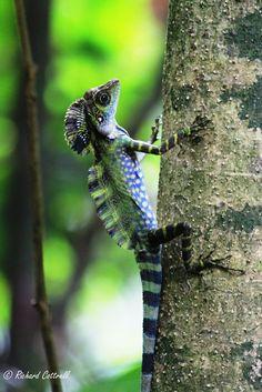 Greater Anglehead Lizard