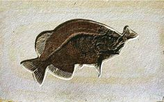 Aspiration  An extremely rare occurrence, occurred when a predatory fish ate prey that was too large and became lodged in its throat.