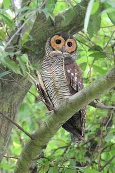 Handsome Spotted Wood Owl