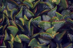 Lush Green Plant Background of Succulent A close-up background of the Succulent plant in green tones. Abstract Stock Photo Plant Background, Abstract Photos, Lush Green, Green Plants, Planting Succulents, Image Now, Fertility, Close Up, Exterior