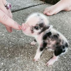 i had a dream the other night that i got 5 puppies and 5 baby pigs... best dream, if only it were real...