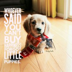 Whoever said you can't buy happiness forot little puppies. Puppy Quotes, Dachshund Quotes, Dachshund Funny, Dachshund Puppies, Dachshund Love, Daschund, Weiner Dogs, Funny Dogs, Little Puppies