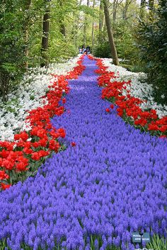 "Kuckenhoff gardens- Holland - ""River of Flowers"" only open for 6 weeks each year. Tulips"