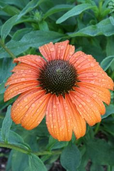 """Echinacea 'Tangerine Dream' is a 2009 Terra Nova introduction that sports well-branched 30"""" stems of large 4"""", sweetly fragrant, bright orange, non-fading flowers...what more could you ask for in a summer-flowering perennial? Good soil drainage is important for best performance."""