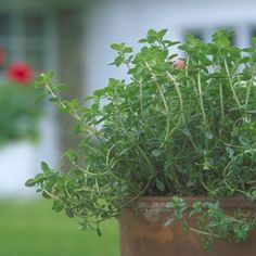 How to Grow Thyme: Organic Gardening... probably my favorite herb ...love to use thyme butter  under the skin of chicken as it roast ...or just to brush up against lemon thyme