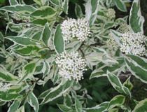 Cornus Alba `Elegantissima`.