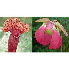 Sarracenia Flava x Sarracenia Purpurea Venosa