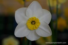 Narcissus 'Astrid's Memory'.