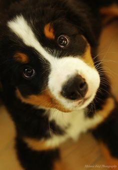 Can't tell if it's a Greater Swiss Mountain Dog or a Bernese Mountain Dog. Either way, this pup's adorable!