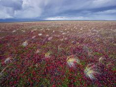 Rolling off Kronotsky Volcano, an autumn storm billows toward the tundra. This vast tweed of feathery grasses, red bearberries, and green crowberries attracts grazing reindeer, berry-picking bears, and curlews that swoop in by the thousands to strip the bushes of their fruit.