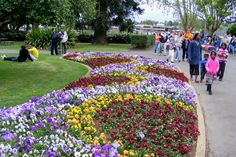 pansies galore - part of the Carnival of Flowers Toowoomba