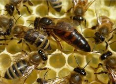 BUSCAN PROTEGER LA ABEJA IBERICA - SEEKING TO PROTECT THE BEE IBERICA.
