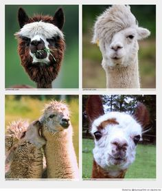 Cute Animals / Alpacas, Llamas ...