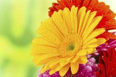 Crisantemos clasificacion buscar con google margaritas - Como cultivar crisantemos ...