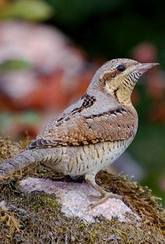 The Eurasian Wryneck (Jynx torquilla) is a species of wryneck in the family of woodpeckers.