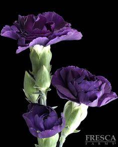 Florgene Moonvelvet Mini Carnation