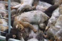 Sign the petition demanding Orini Combined School to cancel their cruel and barbaric possum hunt.