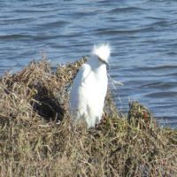 Snowy Egret having a bad hair day!