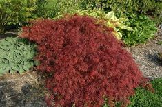 Image result for acer palmatum garnet