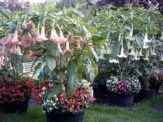 container garden with trumpet flowers Angel Trumpet in pots. Plants/ Flowers in containers. Garden Yard Ideas, Garden Projects, Flowers Nature, Beautiful Flowers, Angel Trumpet Plant, Outdoor Flowers, Unique Plants, Container Flowers, Tropical Garden