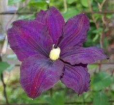 Clematis grandiflora 'Warszawska Nike' (aka 'Warsaw Nike') ....................... Full Sun to Part Shade; Height: 6-8 feet; Zones 4-8; Pruning Group: 3
