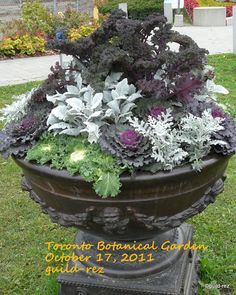 Ornamental Cabbages in Botanical gardens | Guildwood Gardens...: Toronto Botanical Garden...come walk with me...