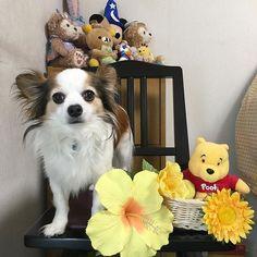 おはようございますワンッ🐾ฅ^•ﻌ•^ฅ 7月9日れん🎵 お誕生日おめでとう❤ 6歳になりました🐶💕 素敵な一日一年を元気に過ごせますように❤ 🎁Happy🎉Birthday🎂🐶💕 #chihuahua #papillon  #chihuahuaandpapillonmix #mixdog  #dog #doglover  #happybirthday  #お誕生日 #誕生日#愛犬誕生日 #ちわぱぴ#パピチワ #チワワ#パピヨン #パピヨンとチワワのmix  #愛犬#わんこ#犬#ミックス犬