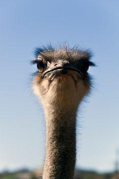 ostrich. .......