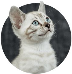 Bengal Cat Adoption Process 🐾   Wild & Sweet Bengals Bengal Cat Price, Bengal Kitten, White Kittens, Cats And Kittens, Ragdoll Kittens, Kitty Cats, Kittens Cutest, Funny Kittens, Exotic Cats
