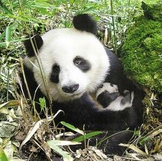 A 2014 census reports less than Pandas are left in the wild. Increased development has had major impacts on the forests these Pandas call home. Animals And Pets, Baby Animals, Cute Animals, Baby Pandas, Giant Pandas, Wild Animals, Exotic Animals, Beautiful Creatures, Animals Beautiful