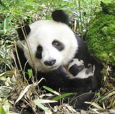 I Luv Pandas!!!
