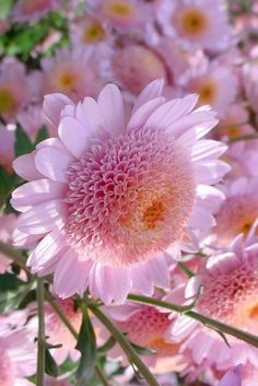 Pink Mums Beautiful gorgeous pretty flowers