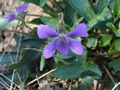 State Flowers Photo Gallery: Rhode Island State Flower - Violet