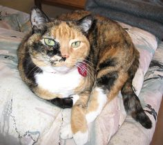 Here's Ruby, the beautiful calico cat our family had before I came into the picture.  She was quite the pretty girl.  One arm was black and one was orange.  BuckleyandBogey.com
