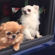 Going for a ride! Long Coat Chihuahua, Cute Chihuahua, Puppy Pics, Puppy Pictures, Pictures Of Chihuahuas, Homemade Dog Treats, Pomeranian, Mans Best Friend, Animales
