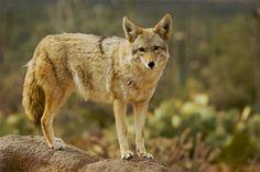 arizona wildlife   WILDLIFE / Coyote-Arizona Desert Museum