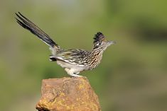 Greater roadrunners have a reputation for speed and wit, but there's more to these amazing desert birds than you might think.