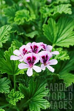 Pelargonium lemon fizz.  Scented Geraniums are a great plant with both ornamental and culinary uses, great in mixed container gardens with veggies (Cathy T)