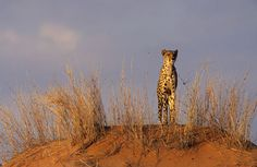 Cheetah, Acinonyx jubatus, Kgalagadi Transfrontier Park, Kalahari, South Africa (25244)