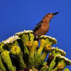 Gila Woodpecker          #WildlifeWednesday By +Mike Spinak