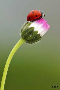 Ladybugs are so named because their help in eating other insects has seemed like the mercy of our Lady of Perpetual Help