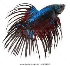 jelly fish & siamese fighting fish - Google Search