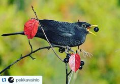 #Repost @pekkavainio with @repostapp I catch it! Blackbird - mustarastas.. #like4like #likeforlike #likes #likeback #justlike #justfollow #likeme #follow #follow4follow #instalike #like #likelike #likelikelike #instagram #instagramers #instadaily #picoftheday #picture #birdsofinstagram #birds #bird #animallovers by itiswidiking
