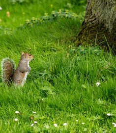 Grey Squirrel - Botanic Gardens In Glasnevin (Dublin)