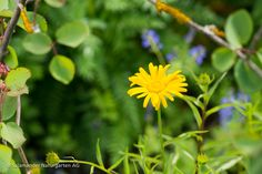 Ochsenauge (Buphthalmum salicifolium)  #Blüte #gelb #Wildblume #flower #yellow #wildflower  Wildblumengarten - Salamander Naturgarten AG Salamander, Natural Garden, Nature, Plants, Yellow, Florals, Naturaleza, Planters, Nature Illustration