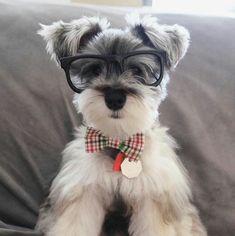 Cute Schnauzer puppy!