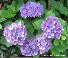 Meu espelho que o diga: Azul e rosa - lindas hortênsias