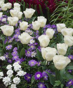 Tulip Calgary - Triumph Tulips - Tulips - Flower Bulbs Index
