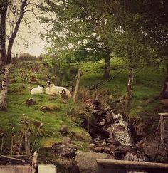 Irish Sheep in Inishowen Peninsula in Donegal.